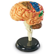 Brain Anatomy Model