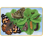 Giant Lifecycle Puzzle - Butterfly