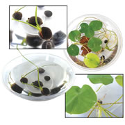Grow Your Own Lily Pad (Set of 5)