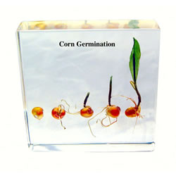 Corn Seed Development