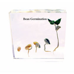 Bean Seed Development